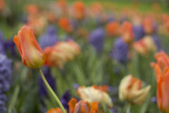 Orange tulips. And purple hyacinths, focus on single orange tulip Royalty Free Stock Photography