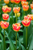 Orange Tulips in soft light Royalty Free Stock Photos