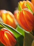 Orange tulips. Some tulips with  light and shadows Royalty Free Stock Images