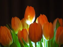 Orange tulips. Some tulips with  light and shadows Royalty Free Stock Image