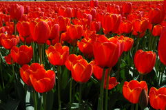 Orange tulips in spring. A view orange tulips, part of a tulip field in spring stock photos