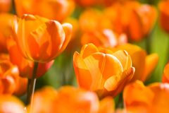 Orange tulips in spring. A field of sunny, orange tulips in spring Royalty Free Stock Photos