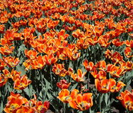 Orange tulips in Spring Royalty Free Stock Images