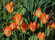 Orange tulips. In spring garden Royalty Free Stock Photos