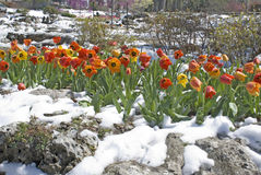 Orange tulips in spring snow. Orange and yellow tulips in freshly fallen spring snow with rocks in a park in the sunlight Royalty Free Stock Images