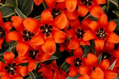 Orange tulips on such a colourful pallet royalty free stock photo