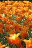 Orange tulips in the sun Royalty Free Stock Image