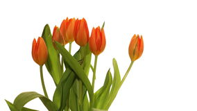 Orange Tulips Time-lapse. Time-lapse of orange tulip flowers blooming stock video