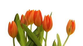 Orange Tulips Time-lapse. Time-lapse of orange tulip flowers blooming stock footage