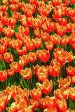 Orange tulips in tulip garden Stock Photography