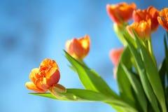 Orange Tulips under blue sky Royalty Free Stock Images
