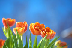 Orange Tulips under blue sky Royalty Free Stock Photography
