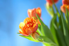 Orange Tulips under blue sky Royalty Free Stock Images