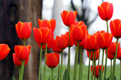 Orange tulips Royalty Free Stock Photo