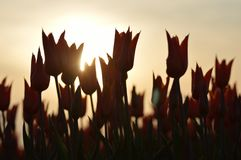 Orange tulips. This is a view of the kind of ballerina a orange tulip with a evening sun Stock Photo