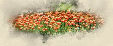 Orange tulips. The Orange tulips. Watercolor background Royalty Free Stock Photos