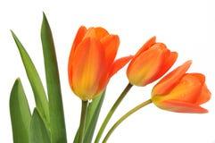 Orange tulips on white background Royalty Free Stock Photography