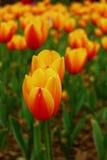 Orange tulips with yellow edges. Royalty Free Stock Photo
