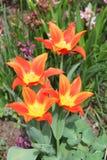 Orange tulips Royalty Free Stock Image