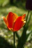 Orange tullip. Transparent orange tulip petals in spring time Stock Photography