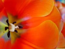 orange tulpan Arkivbild