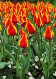 orange tulpan Royaltyfria Foton