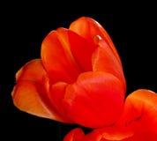orange tulpan Arkivfoton