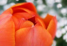 orange tulpan Arkivbilder