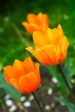 orange tulpan arkivfoto
