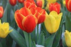 orange tulpan Royaltyfri Bild