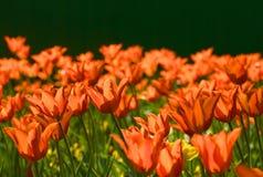 orange tulpan Royaltyfri Foto