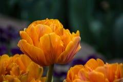 Orange tulpan, botaniska trädgårdar av Balchik, Bulgarien Royaltyfria Bilder