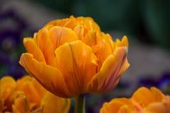 Orange tulpan, botaniska trädgårdar av Balchik, Bulgarien Royaltyfri Fotografi