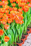Orange tulpan i krukor för att plantera Fotografering för Bildbyråer