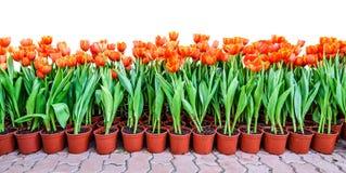 Orange tulpan i krukor för att plantera Royaltyfri Fotografi