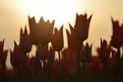 Orange tulpan i solnedgången royaltyfria bilder
