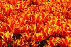 Orange tulpan i tulpanträdgård Fotografering för Bildbyråer