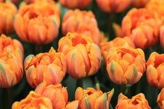 Orange tulpan med gröna och röda viktig Royaltyfri Bild