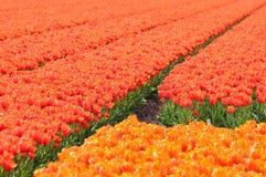 Orange tulpanfält Fotografering för Bildbyråer