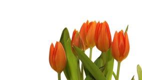 Orange tulpanTime-schackningsperiod stock video