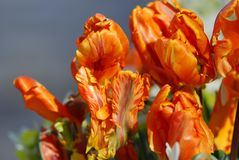 orange Tulpe stockbild