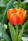 Orange Tulpe Stockbilder