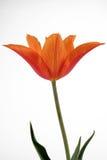 Orange Tulpe Stockfoto