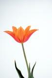 Orange Tulpe Lizenzfreie Stockbilder