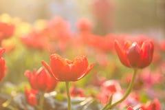 Orange Tulpe stockbilder