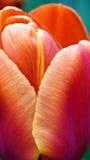 Orange Tulpe, Abschluss, der sich die Ränder der Blumenblätter zeigt Lizenzfreie Stockfotografie