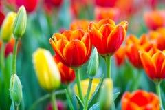 Orange Tulpe auf dem Gebiet lizenzfreie stockfotografie