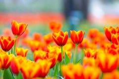 Orange Tulpe auf dem Gebiet lizenzfreies stockfoto