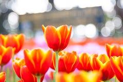 Orange Tulpe mit bokeh stockfotografie