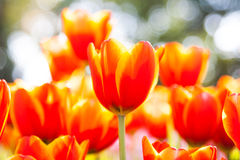 Orange Tulpe mit bokeh lizenzfreies stockbild